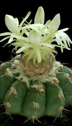 Art Flowers, Flower Art, Cacti And Succulents, Cactus Plants, Beautiful, Garden, Beautiful Flowers, Bonito, Art Floral