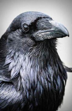 32+ ideas mountain ash tree tattoo crows ravens #tattoo #tree Quoth The Raven, Raven Bird, Crow Or Raven, Crow Art, Bird Art, Beautiful Creatures, Beautiful Birds, Animals Beautiful, Beautiful Pictures