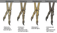 Hand anatomy in tyrannosaurids, by Hubert Paul