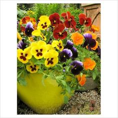 yellow and purple pansies planted in a pot - Yahoo Image Search Results