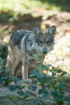 ☀Mexican Wolf pup. by palmerb16 on Flickr*