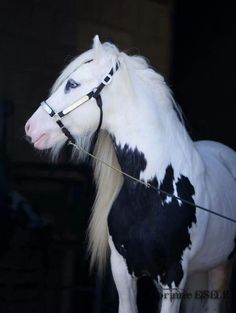 Harness draft carriage horse equine Clydesdale Percheron Shire Hafflinger Gypsy Vanner Cob beautiful and pure All The Pretty Horses, Beautiful Horses, Animals Beautiful, Cute Animals, Beautiful Dream, Cute Horses, Horse Love, Cheval Pie, Gypsy Horse