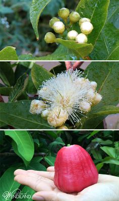 This bright pink fruit is so attractive with beautiful pompom like flowers that brings bees to an organic garden.  Fruit is crisp, delightfully sweet, and full of moisture!  Read the blog to learn more about it.