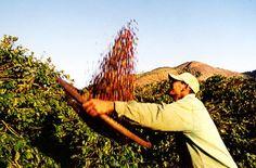 Folha do Sul - Blog do Paulão no ar desde 15/4/2012: Colheita do café arábica começa no sul de MG com u...
