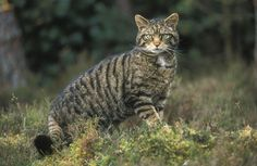 Wildcats facing imminent extinction in Scotland following decades of persecution and interbreeding. « Raptor Politics