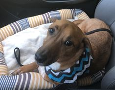 Carson is an adoptable dachshund searching for a forever family near Acworth, GA. Use Petfinder to find adoptable pets in your area. Dachshund Adoption, Beagle Mix, Mini Dachshund, Dachshund Puppies, Pet Adoption, Crate Training, Helping The Homeless, Pet Care, Searching