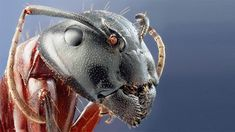 Camponotus Herculaneus