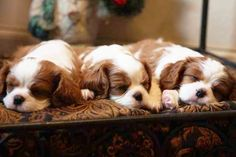 Nothing sweeter than sleeping Cav puppies! Puppies And Kitties, Cute Puppies, Cute Dogs, Kittens, Cute Puppy Photos, Puppy Pictures, Puppy Pics, Cavalier King Charles Spaniel, King Charles Puppy