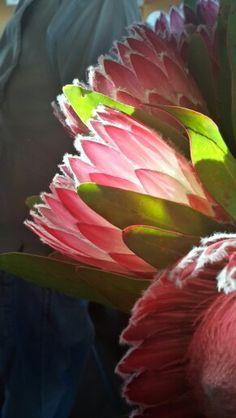 Protea 'Julia' Protea Art, Protea Flower, King Protea, Unusual Flowers, Seed Pods, E Design, Beautiful Birds, Trees To Plant, Blossoms