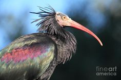 Waldrapp Ibis 5d27049. Photograph by Wingsdomain Art and Photography.