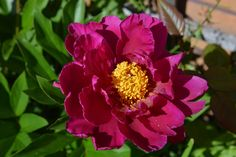 Pioni – Largo | Vesan viherpiperryskuvat – puutarha kukkii