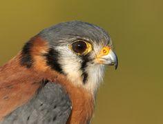southeastern-american-kestrel-by-jack-rogers-copyright-dsc09378.jpg (2122×1622)