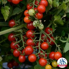 """Tomato Candyland Red - 2016 AAS Winner -  is the only AAS award winning currant-type tomato. Currant tomatoes are smaller in size than cherry-type and are ready to """"pop"""" in your mouth straight from the garden."""