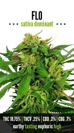 I Love Super Lemon Haze 3 Sew//Iron On Patch Marijuana Strain Sativa Hybrid