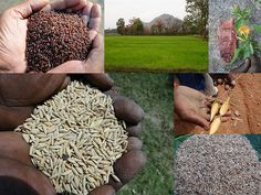 Validated and Potential Medicinal Rice Formulations for Diabetes (Madhu Prameha) and Cancer Complications and Revitalization of Kidney (TH Group-180) from Pankaj Oudhia's Medicinal Plant Database
