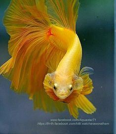 Some interesting betta fish facts. Betta fish are small fresh water fish that are part of the Osphronemidae family. Betta fish come in about 65 species too! Pretty Fish, Cool Fish, Beautiful Fish, Betta Tank, Fish Tank, Colorful Fish, Tropical Fish, Freshwater Aquarium, Aquarium Fish