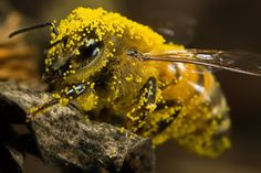 Bee covered in Pumpkin Pollen by dalantech---    100 Extremely Detailed Macro Insect Photos .