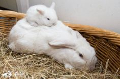 """Baby white lop-eared rabbit, """"Snow Flake"""", and his mum """"Snow White"""", both rescued by Edgar's Mission. Baby Animals Pictures, Animals And Pets, Funny Animals, Cute Animals, House Rabbit, Rabbit Baby, Hamsters, Cute Buns, Honey Bunny"""