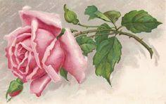 Pink rose ~ vintage postcard