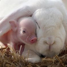 When The Bunny Met The Piglet - Animal Hugs And Cuddles Via News...