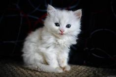 Little Snow White trying real hard not to smile.  Photo by ©Zoran Milutinovic
