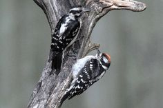 Downy Woodpeckers, adult female and young fledgling male. Duck Pictures, Northern Flicker, Downy Woodpecker, Common Birds, Black And White Birds, Black Oil, Autumn Trees, Beautiful Birds, Blue Bird