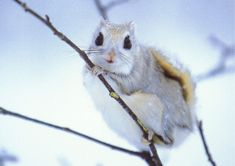 Momonga Dwarf Flying squirrel.. so squee! :D