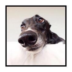 Greyhound nose.