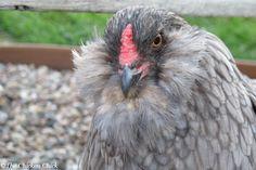 Blue Ameraucana hen. #chickens