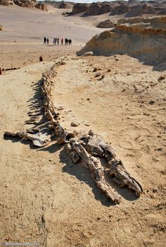 Lcoated 160 kilometers from the world-famous pyrmaids at Giza is a site dubbed the Valley of Whales, it is home to a vast collection of whale fossils. Natural World, Natural History, Natural Park, Ancient Egypt, Ancient History, Paises Da Africa, Dinosaur Fossils, Wale, Extinct Animals