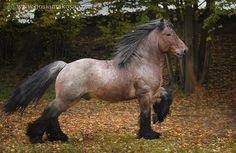 Brabant Belgian draft horse stallion.....check out the neck that handsome boy. I'll take him.