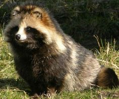 The Raccoon Dog, or Tanuki, is a canid indigenous to East Asia. The raccoon dog is named for its resemblance to the raccoon, to which it is not closely related. They are very good climbers and regularly climb trees.