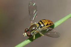Hover Fly (Toxomerus marginatus) Insects, Park, Nature, Parks, Naturaleza, Scenery