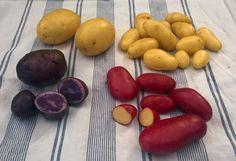 Sikke en kartoffel-høst, der har været i år i haven! Og hvor er det herligt at kartofler kan være så forskellige. Da de gode læggekartofler fra AKV Langholt var klar at ryge i jorden, gik min fræse...