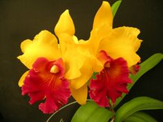 Great site for orchids! | Blc. Gladys Oumae #orchids #love