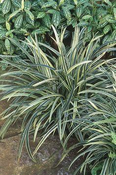 Ophiopogon jaburan 'Vittatus' (Jaburan Lily)