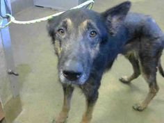German Shepherd Dog dog for Adoption in Sacramento, CA. ADN-637232 on PuppyFinder.com Gender: Male. Age: Young