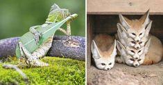 Si creían que sólo las personas son capturadas ¨in fraganti¨ están muy equivocados, en el mundo animal también hay varias especies que han protagonizado divertidas y hermosas fotografías y es que ¿quién podría prepararlos para