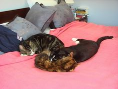 Cats cuddling in bed. Cute kitties!
