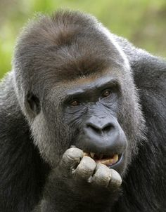 Estrenando casa    Un gorila llamado Kidogo come nueces en su nueva instalación del zoológico en Krefeld, Alemania.