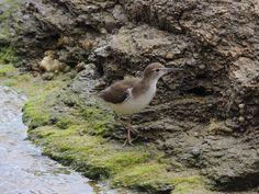 Sanpiper/plover tip-toeing through the algae covered beach rocks