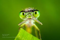 Damselfly by FrantiekDulk #nature #photooftheday #amazing #picoftheday