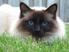 Birman Cat -The Sacred Cats of Burma, better known as Birman Cats, could be the descendants of longhaired white cats that were kept by Buddhist priests as companions. The cats were considered sacred and charged with guarding the temples. The history of these cats is obscure. The experts are not entirely sure how these cats got from the Temples in the mountains of Burma to the streets of Paris.