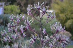 anigozanthos flavidus kangaroo paw landscape lilac 3