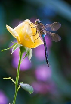 My favorite rose is a Yellow one...and DF is my spirit guide.... love this pic