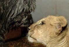 Zimba, a male lion cub, right, and Bogi, a male Puli dog