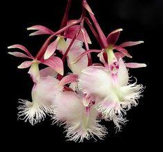 Epidendrum 'Annelie Wans' - Photo by Ed Merkle