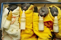 Bats are very clean animals, and groom themselves almost constantly (when not eating or sleeping) to keep their fur soft and clean, like tiny cats.