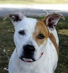 Martinsville, IN - American Pit Bull Terrier Mix. Meet Susie, a dog for adoption. https://www.adoptapet.com/pet/19110496-martinsville-indiana-american-pit-bull-terrier-mix