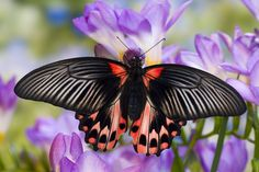 The Red Mormon Tropical Butterfly, Papilio rumanzovia, photograph by:  Darrell Gulin